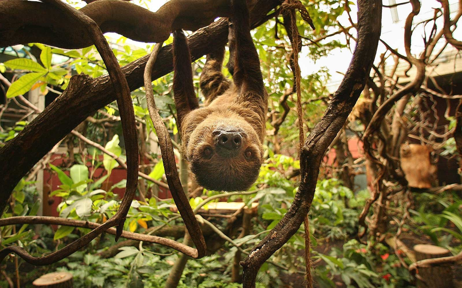 A sloth in a zoo in the UK