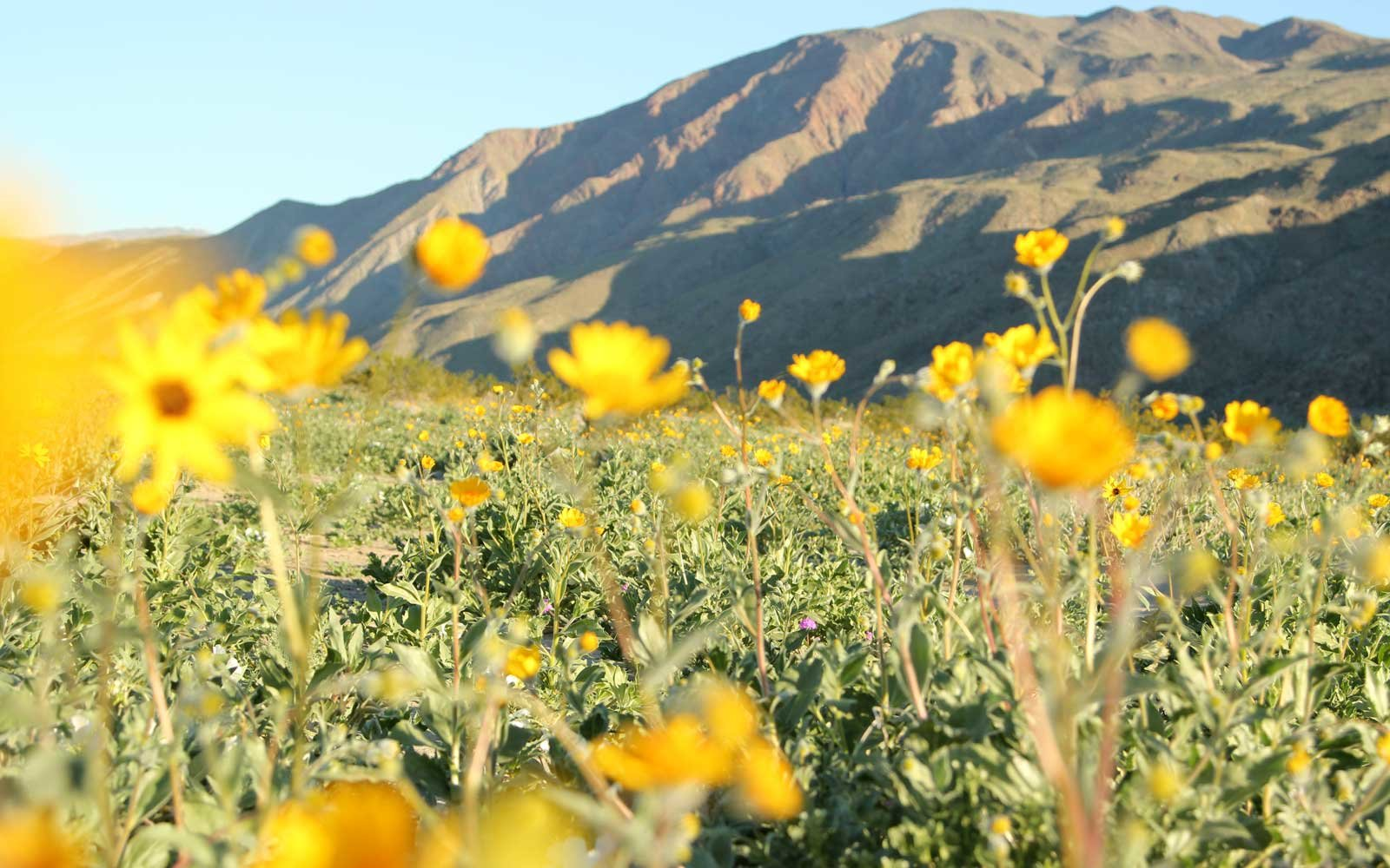 a super bloom is expected in southern california  u2014 and one
