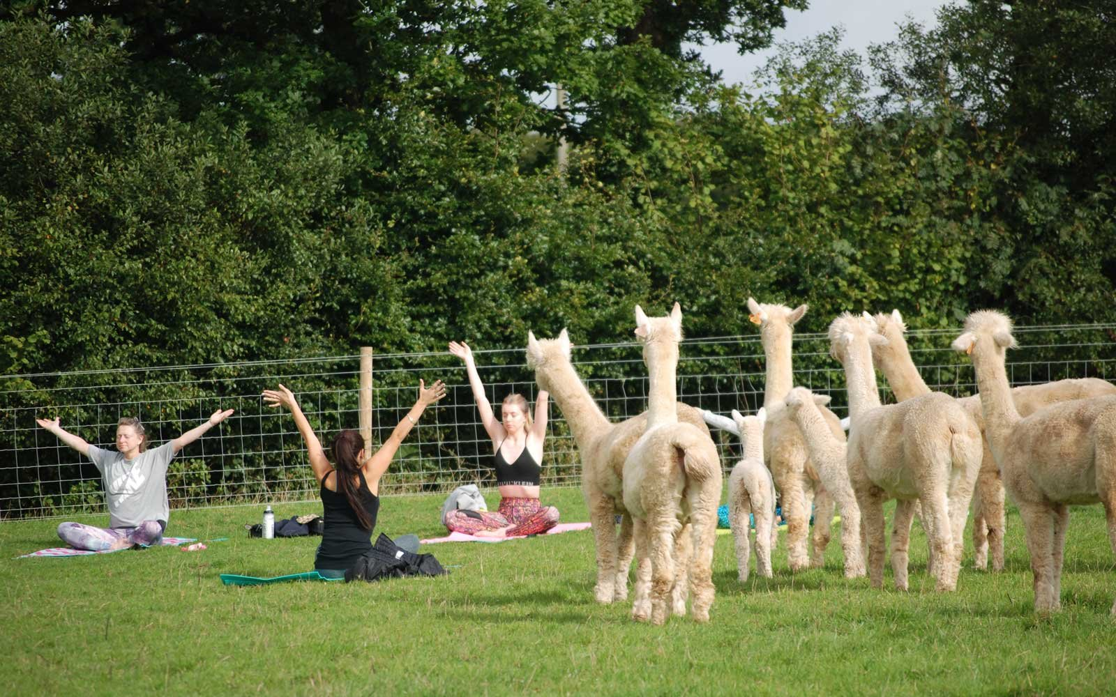 You Can Do Yoga With Cuddly, Adorable Alpacas at This Farm in England