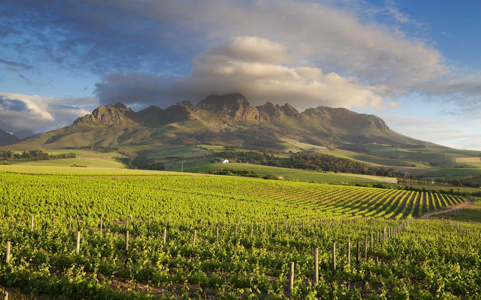 Vineyards in South Africa's Cape Winelands region