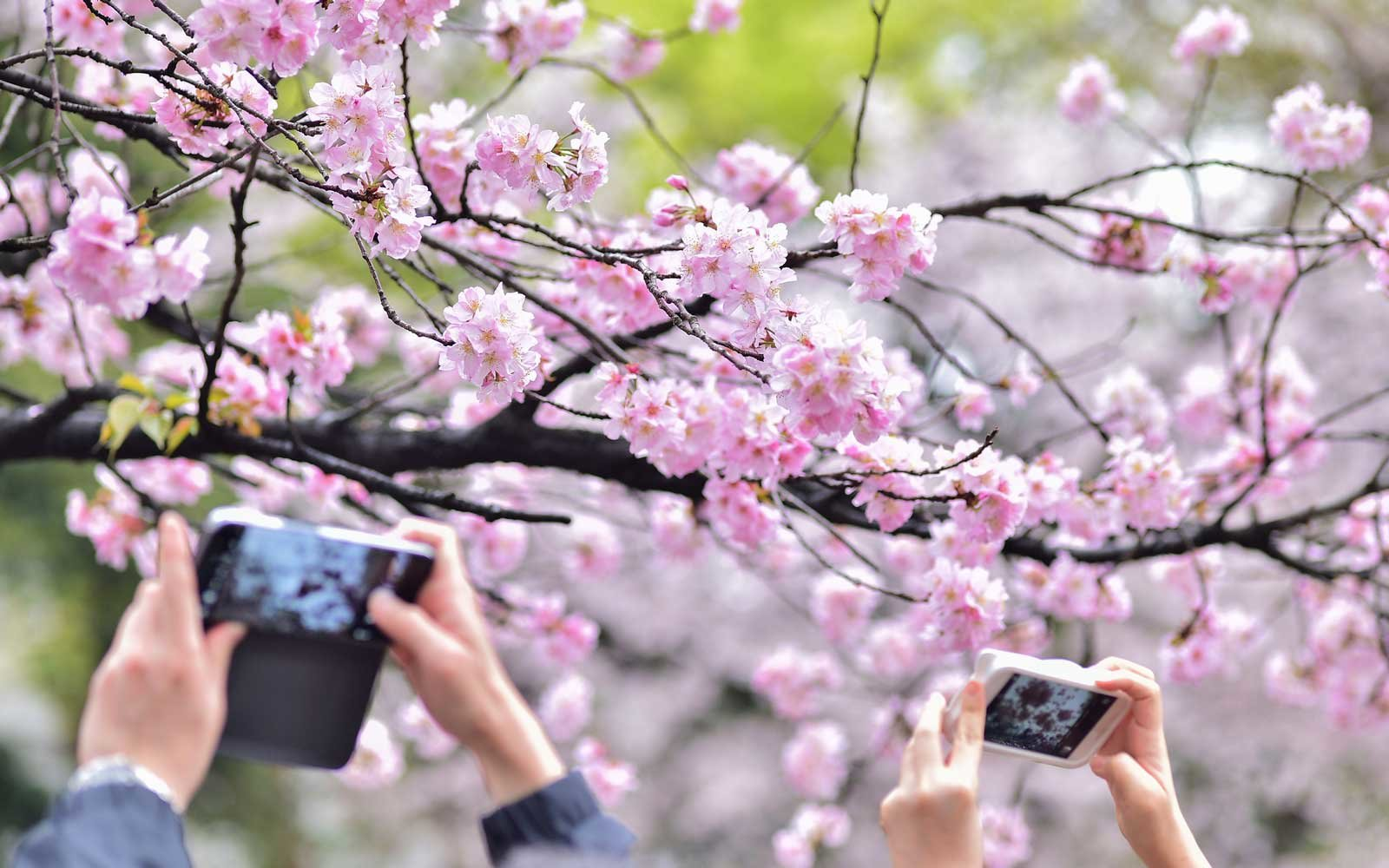 Here's When Japan's Cherry Blossoms Will Reach Peak Bloom