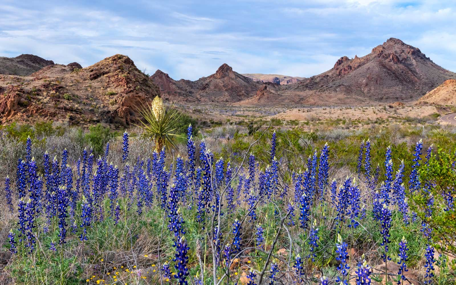 Big Bend National Park, Texas, Bluebonnets