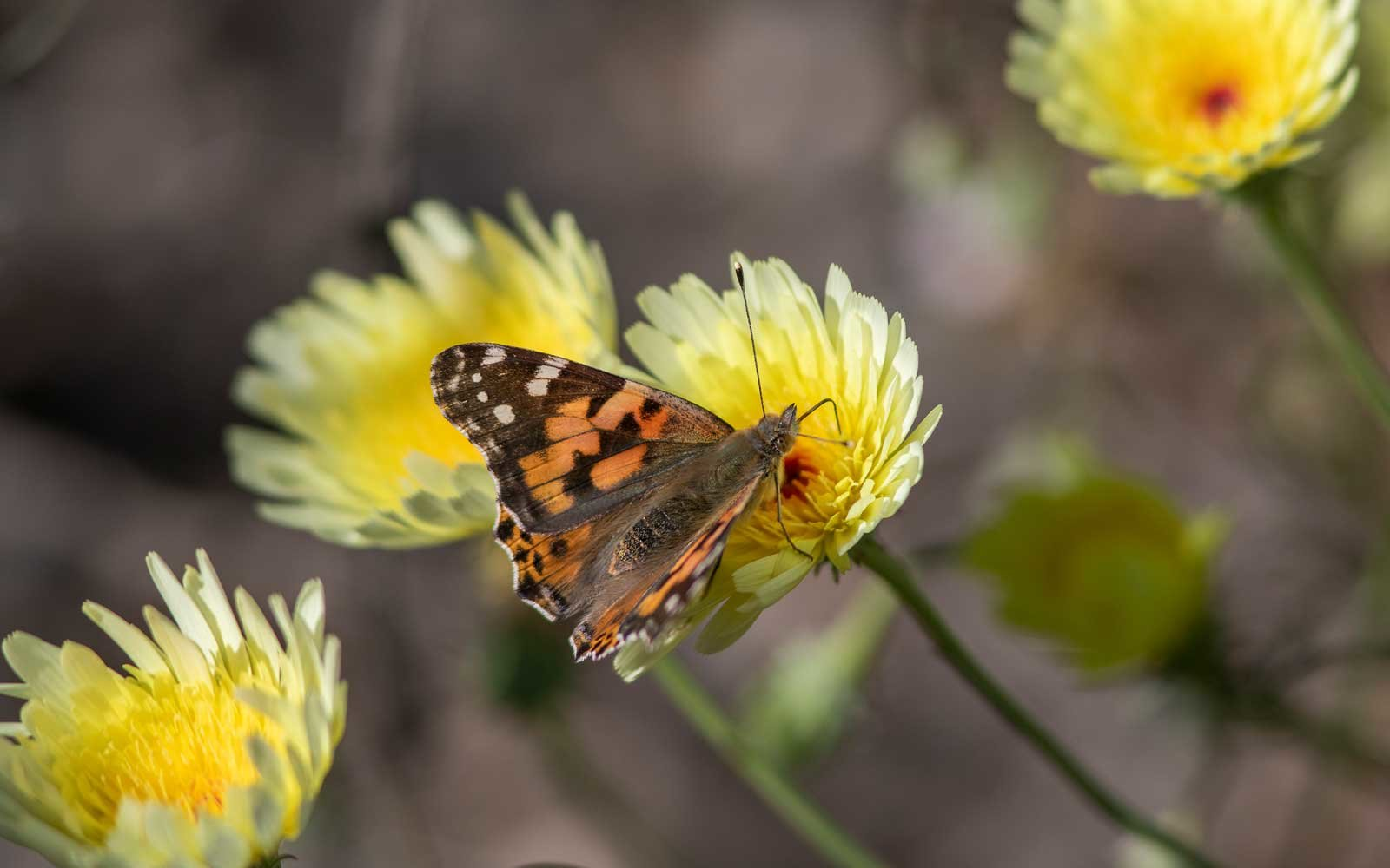 Painted Lady butterflies are currently migrating through California.