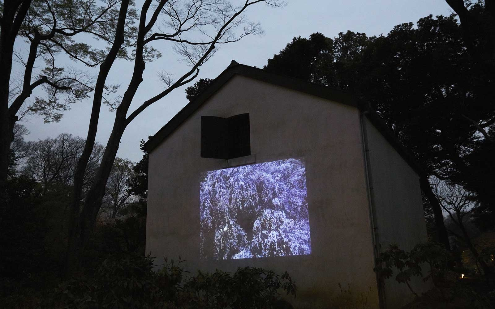 Rikugi-en Gardens Binkyo-ku, Tokyo Projection of Cherry Blossoms on building near Weeping Cherry Blossom tree