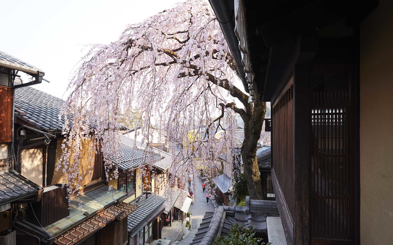 Weeping Cherry Blossom Tree, Kyoto