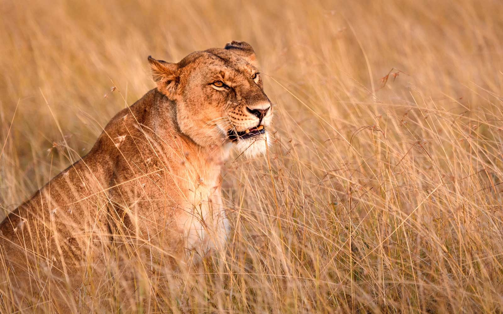 Lioness in natural landscape