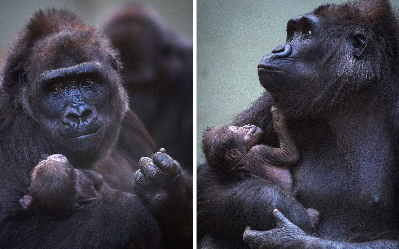 First-time Gorilla Mom Can't Stop Holding and Smiling at Her New Baby