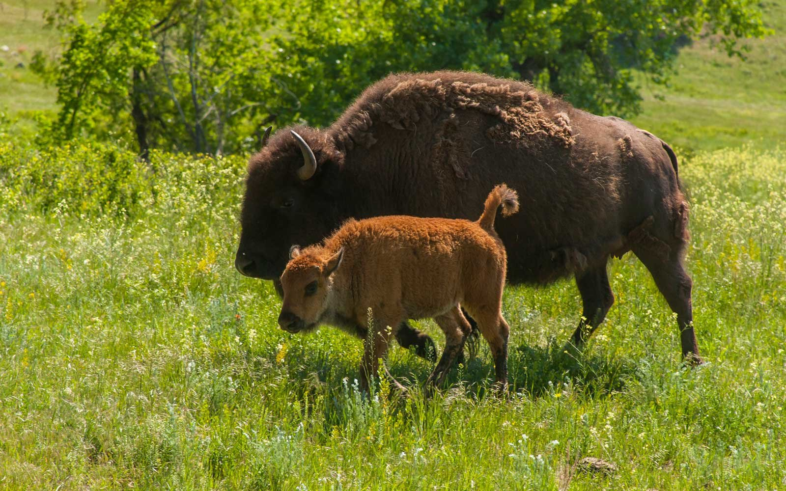 This U.S. State Park Is Known for Incredible Wildlife Spotting — and Its First Baby Bison of the Year Was Just Born