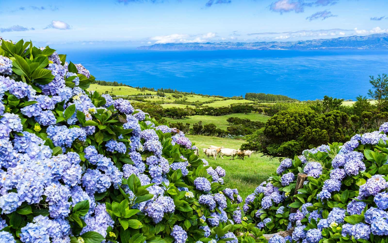 Azores Islands and hydrangeas