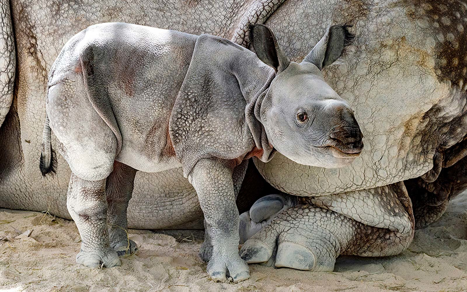 This Adorable One-horned Baby Rhino Was Just Born at Zoo Miami