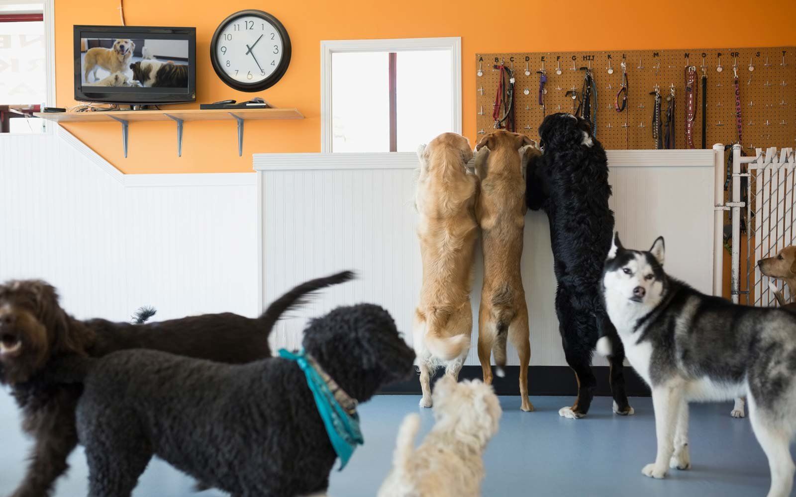 Dogs playing in dog daycare