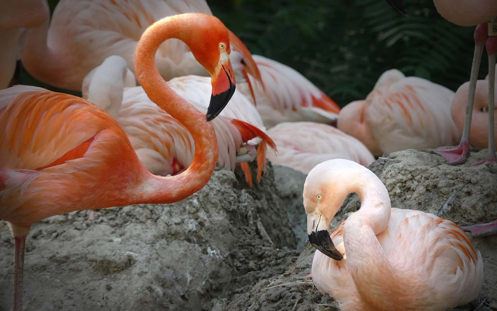 Denver Zoo's same-sex flamingo couple Lance Bass and Freddie Mercury might raise a chick