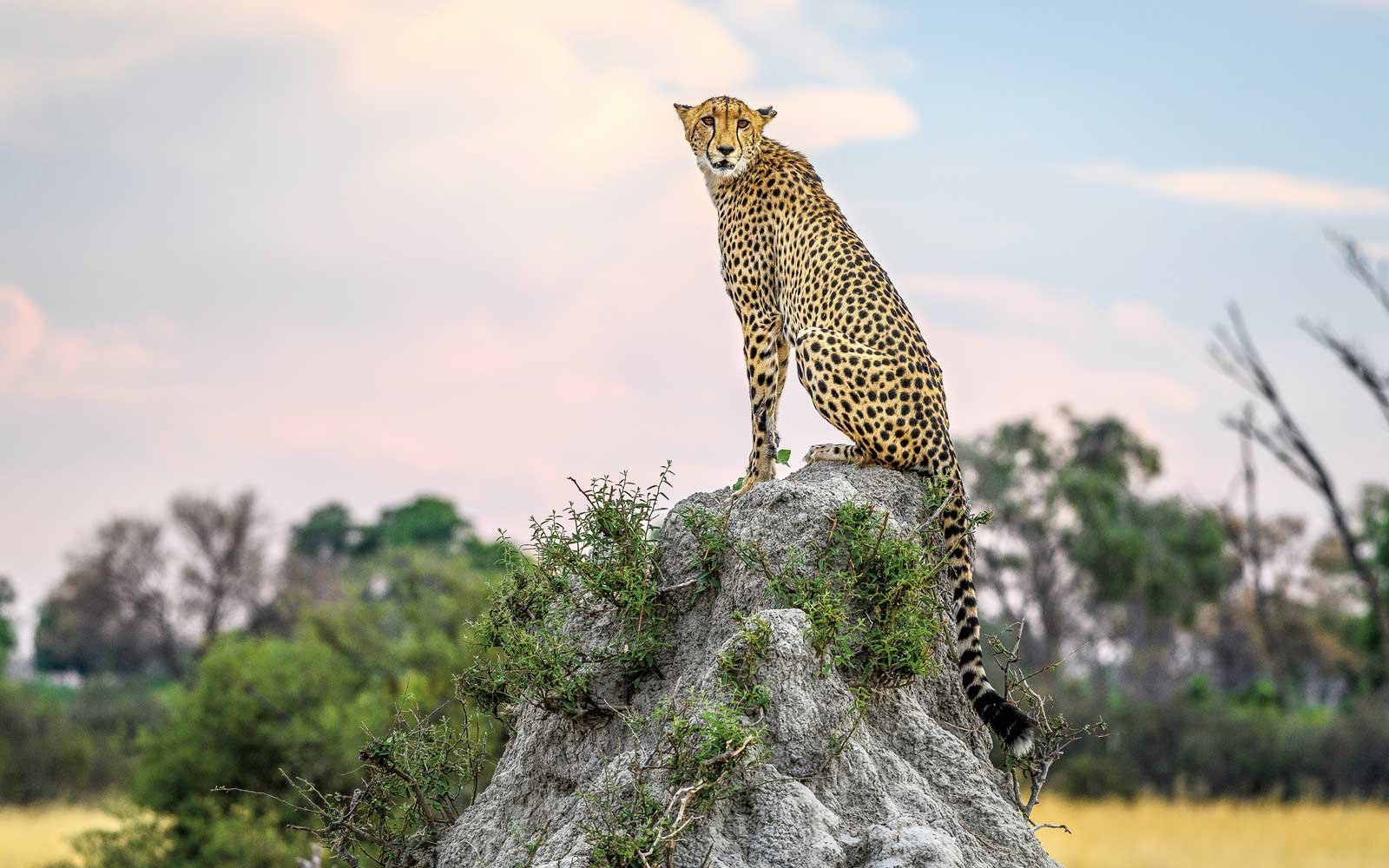 Cheetah sighting with African Travel