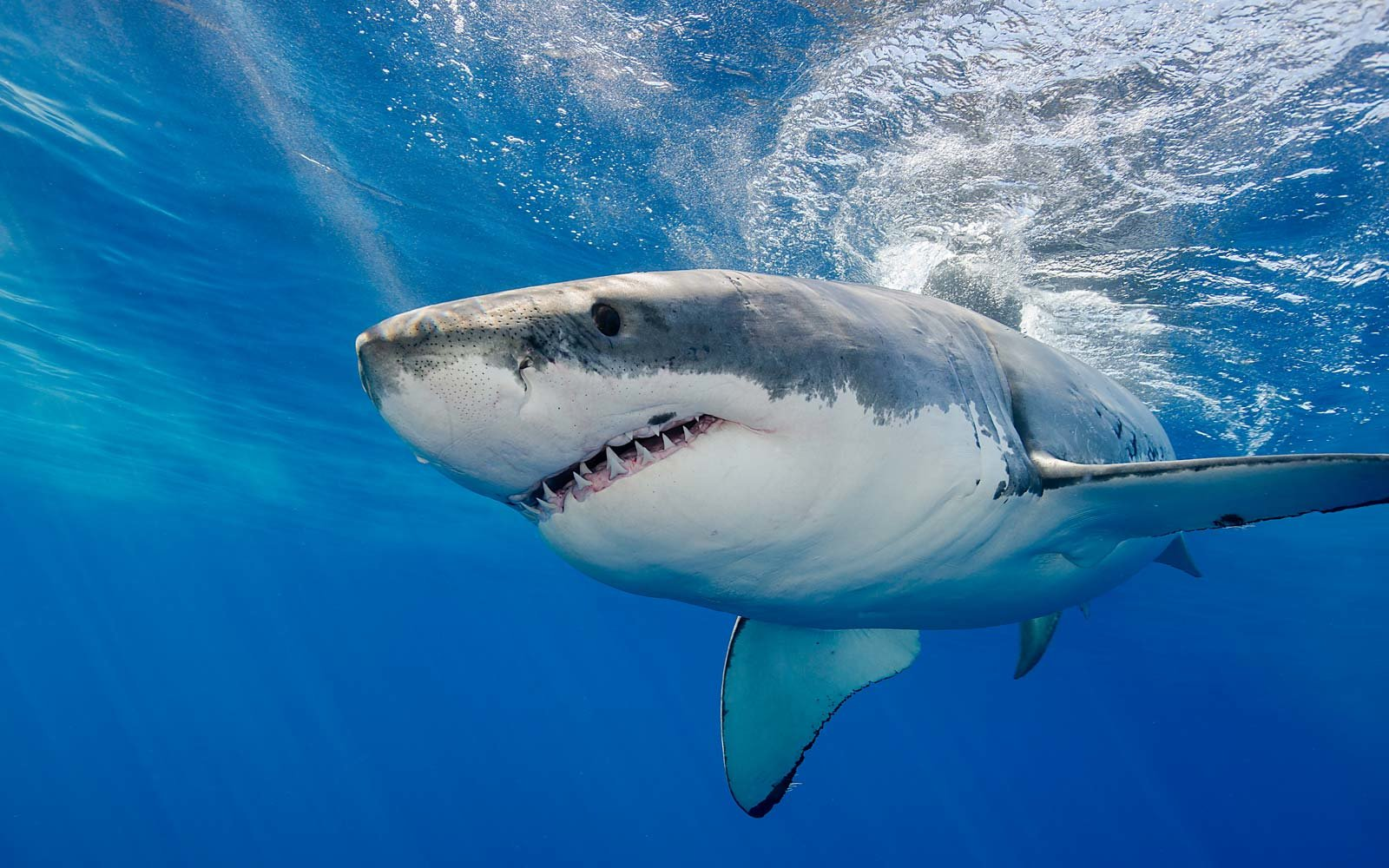 Great white shark swimming just under the surface.