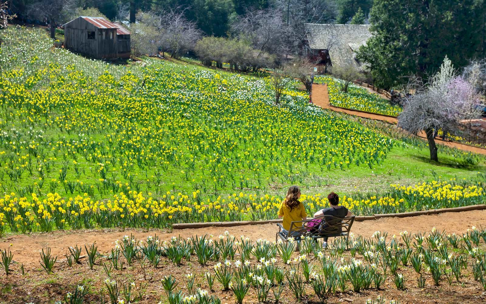 Daffodil Hill is a ranch owned by the McLaughlin family since 1887, and is located in Volcano, CA.