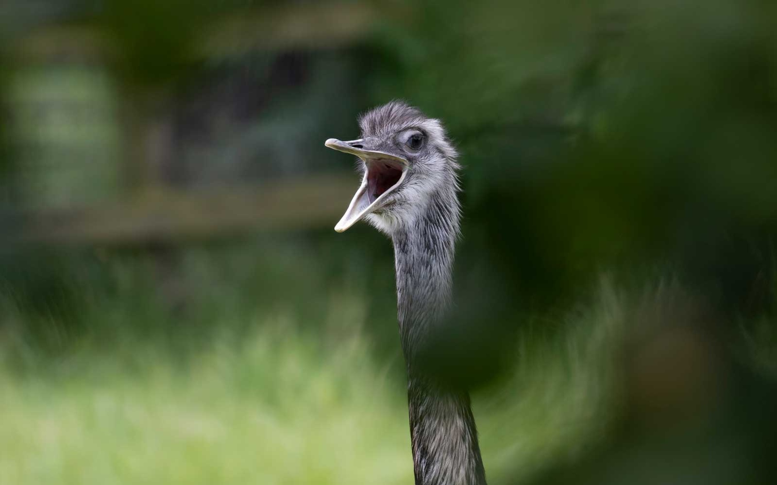 An emu bird is on the loose in North Carolina