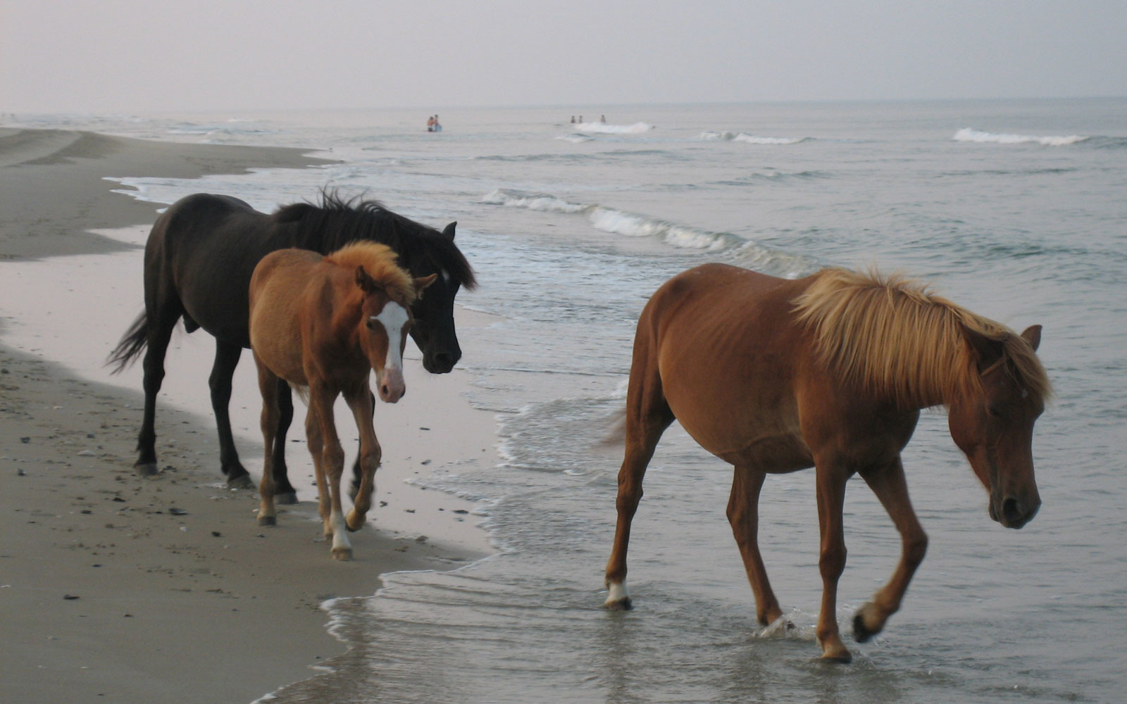The Outer Banks' wild Horses ride out hurricanes using this interesting trick