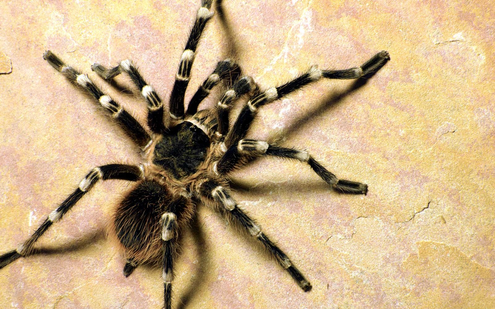 Top view of white knee tarantula, Acanthoscurria geniculata.