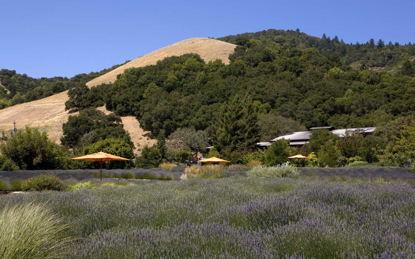 The lavendar garden at Bennett Valley's Matanzas Creek Winery