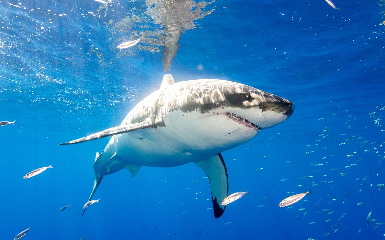Watch great white mega shark bite and rattle a diving cage — with divers inside