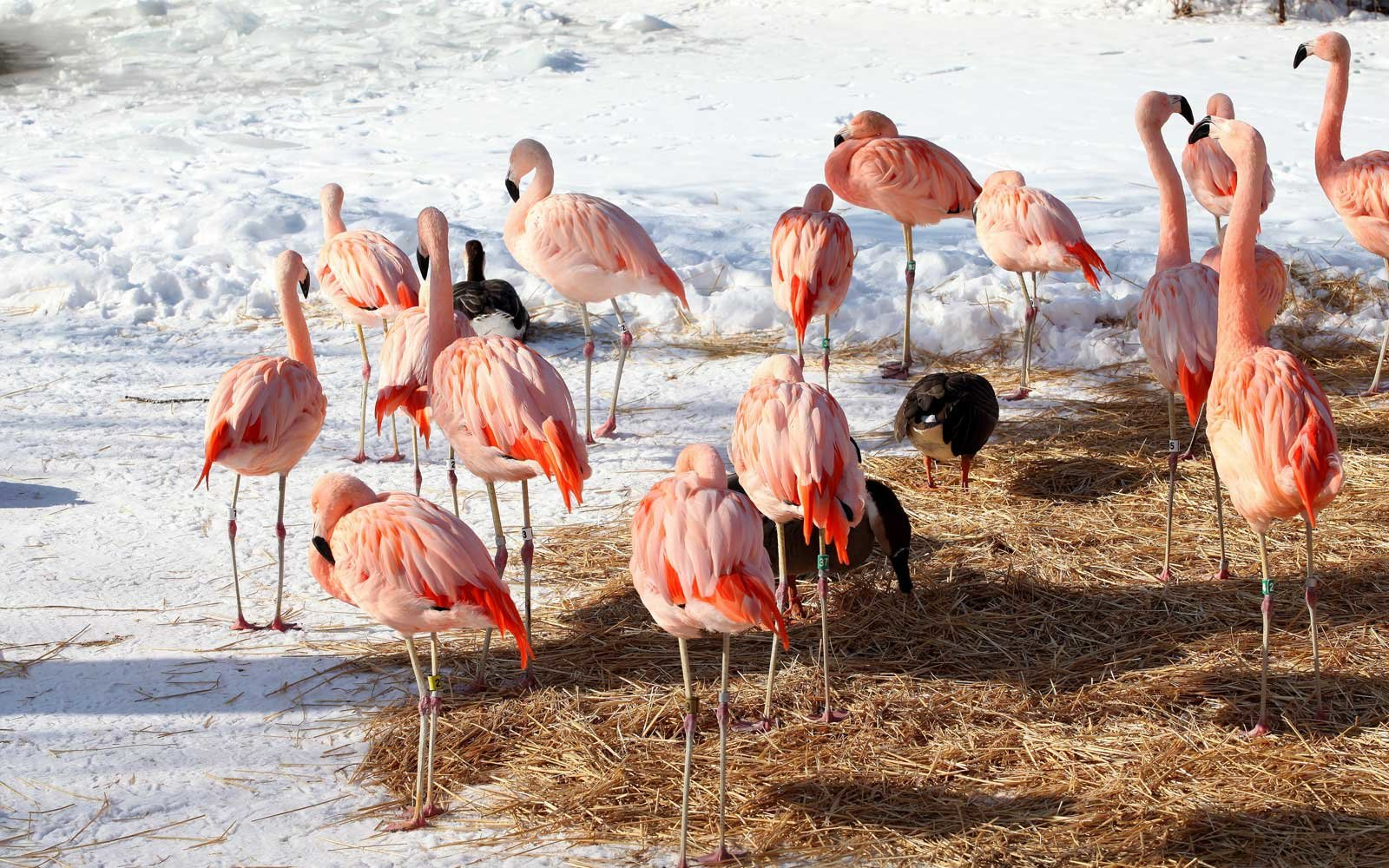 Chilean Flamingos at the Chicago Zoo