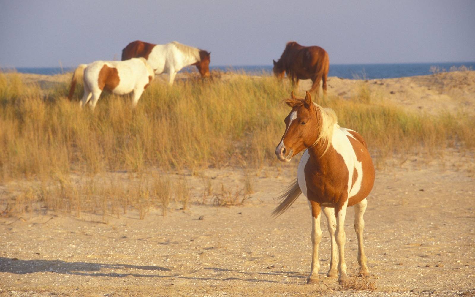 Chincoteague, Virgina