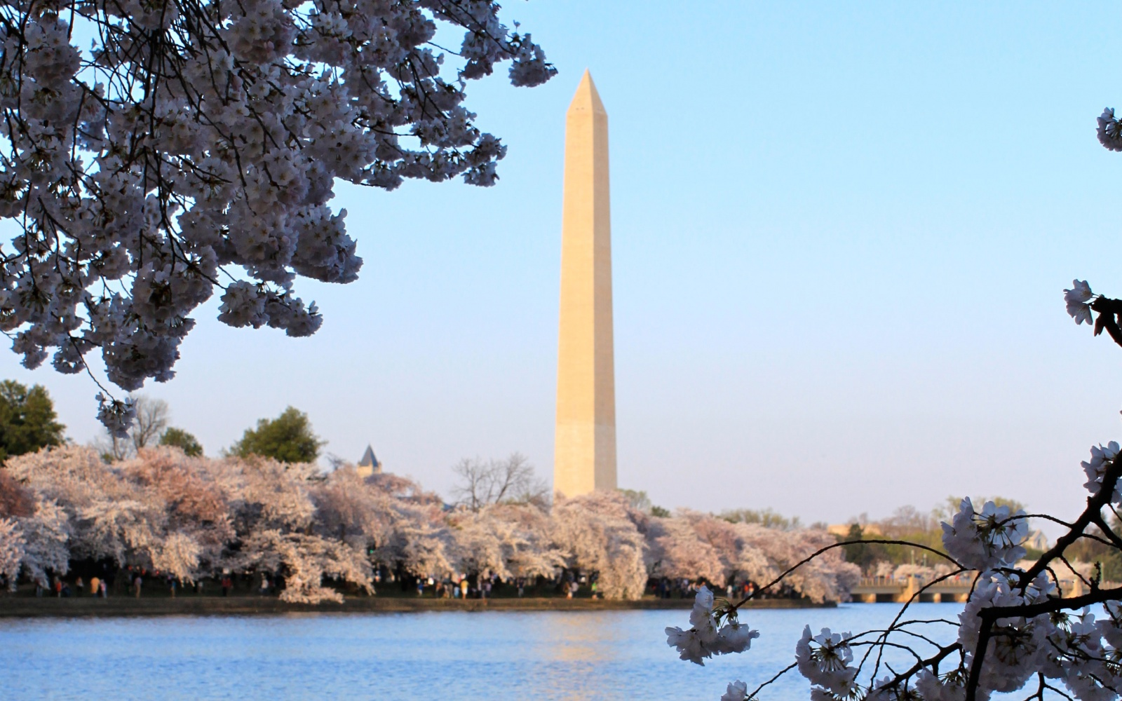 Cherry Blossoms on D.C.'s National Mall