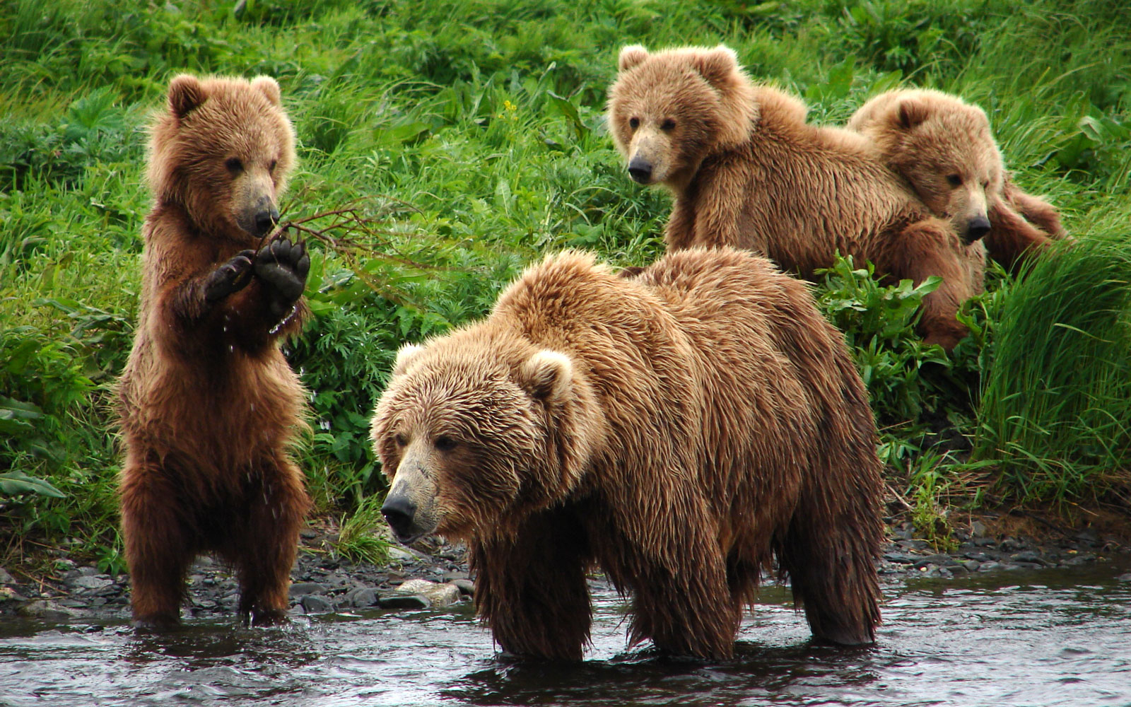 Kodiak Brown Bear Cubs, Kodiak, AK