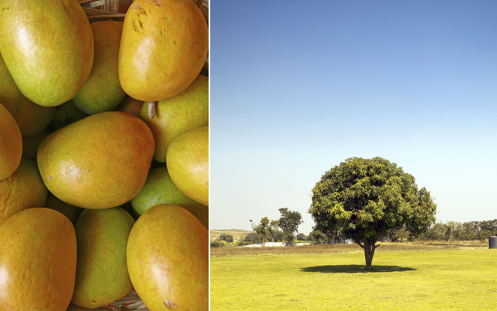 The Life and Times of an Indian Mango