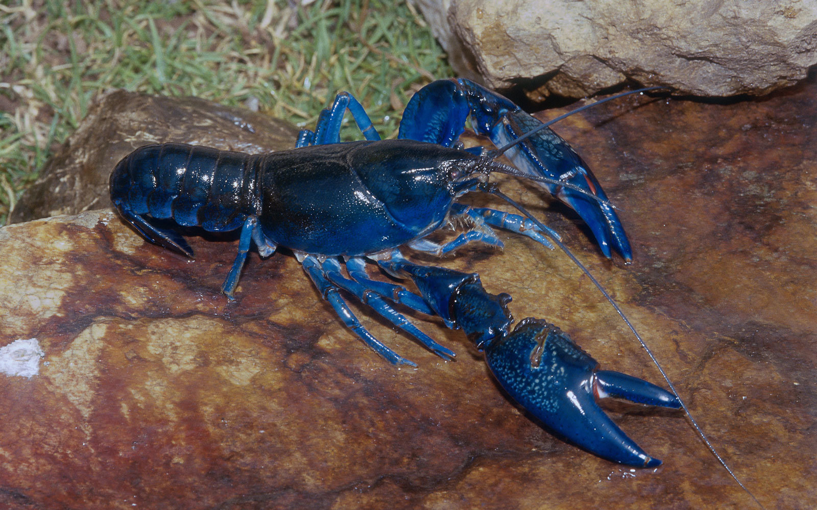 A blue lobster.