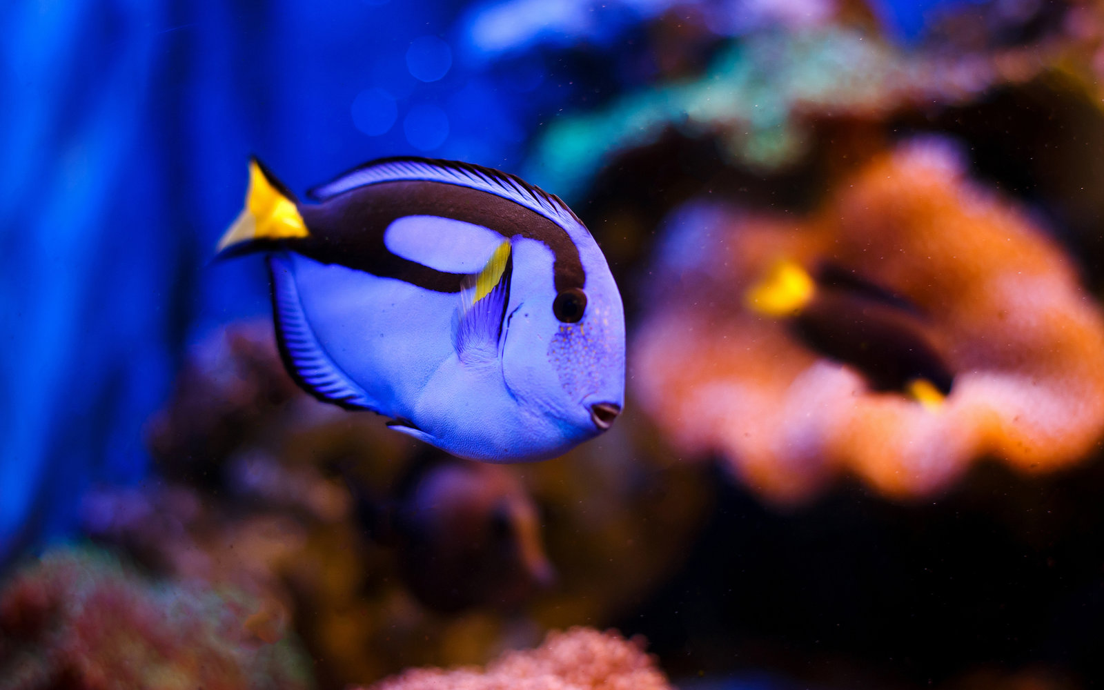 The 39 finding dory 39 fish has been bred in captivity for the for Picture of dory fish