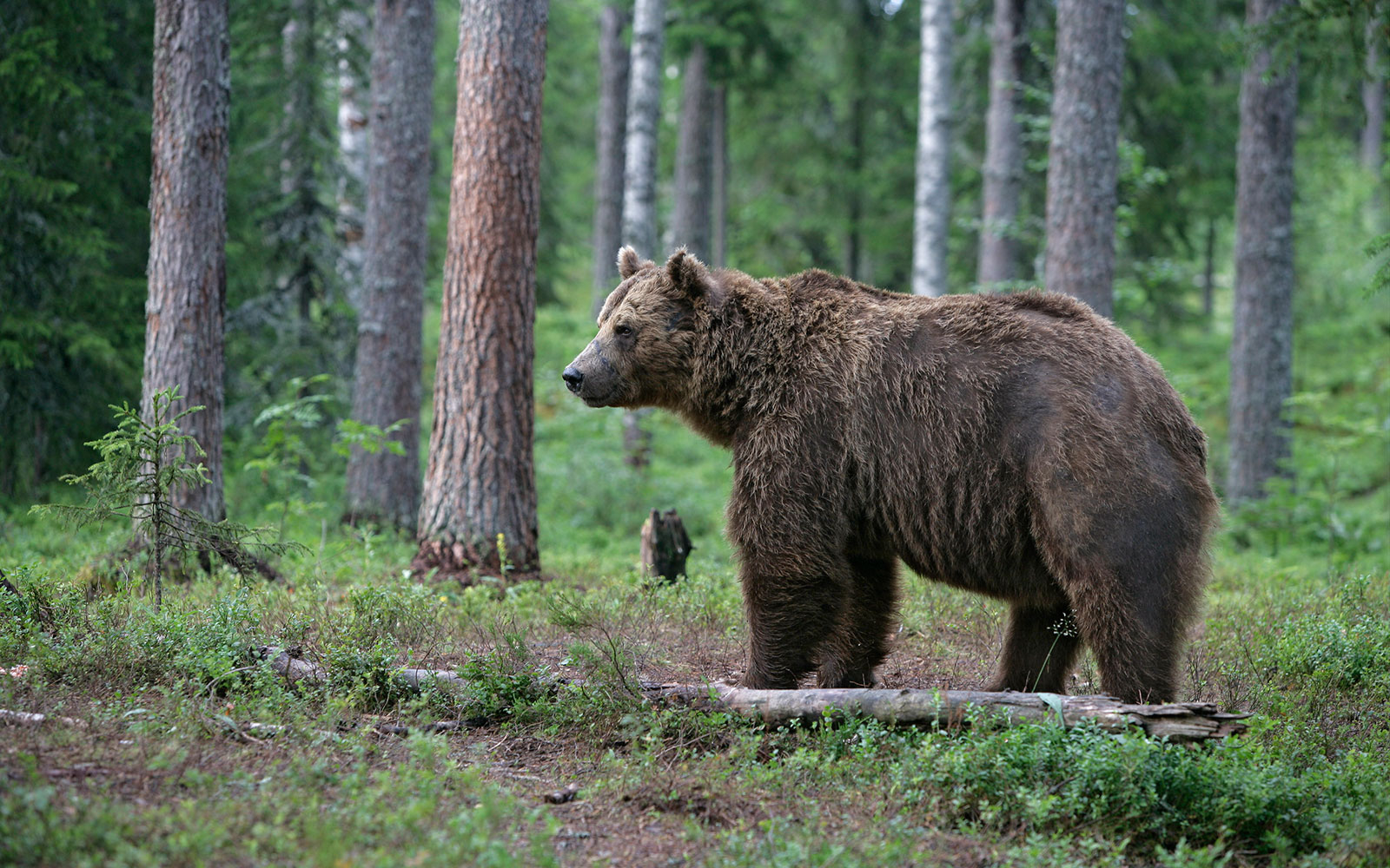 BROWNBEARCENTRE0815.jpg