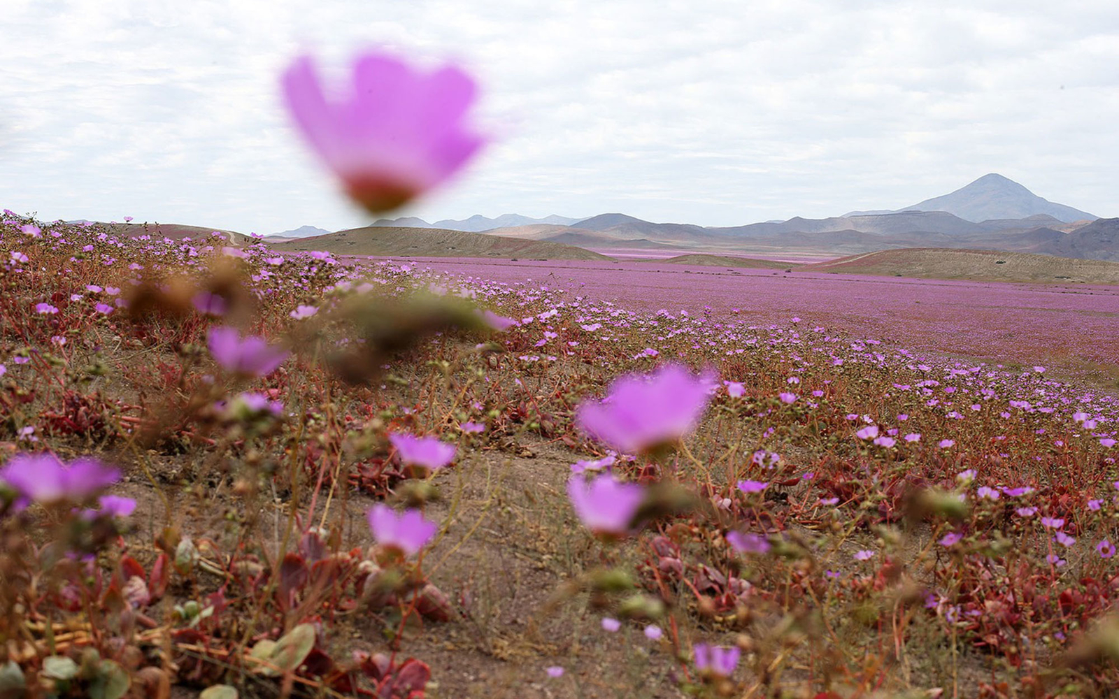 Atamacama Desert Bursts Into Bloom After Unusual Rainfall Travel