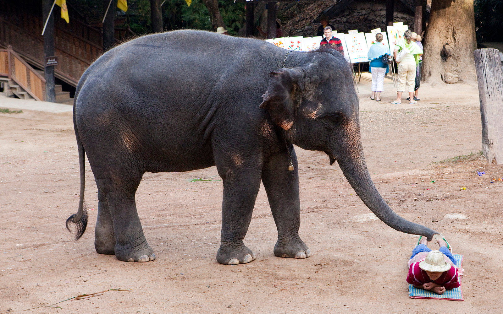 Elephant gives tourist a massage in Thailand