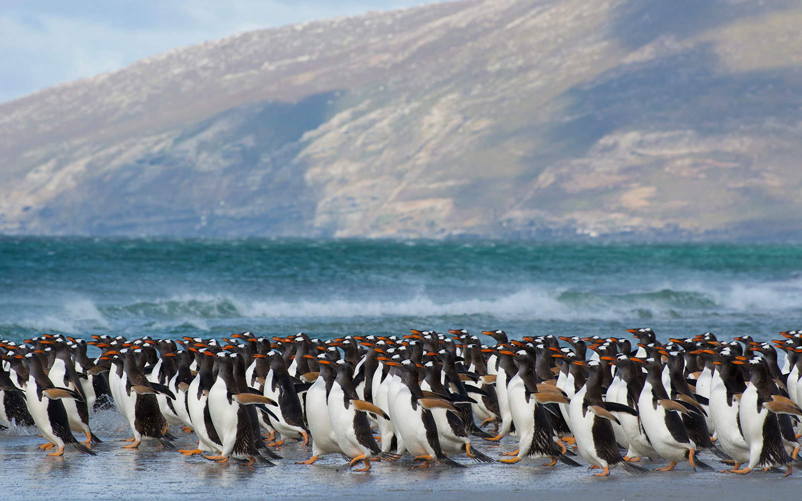 Gentoo penguins Pygoscelis papua rushing into water, Saunders Island, Falkland Islands