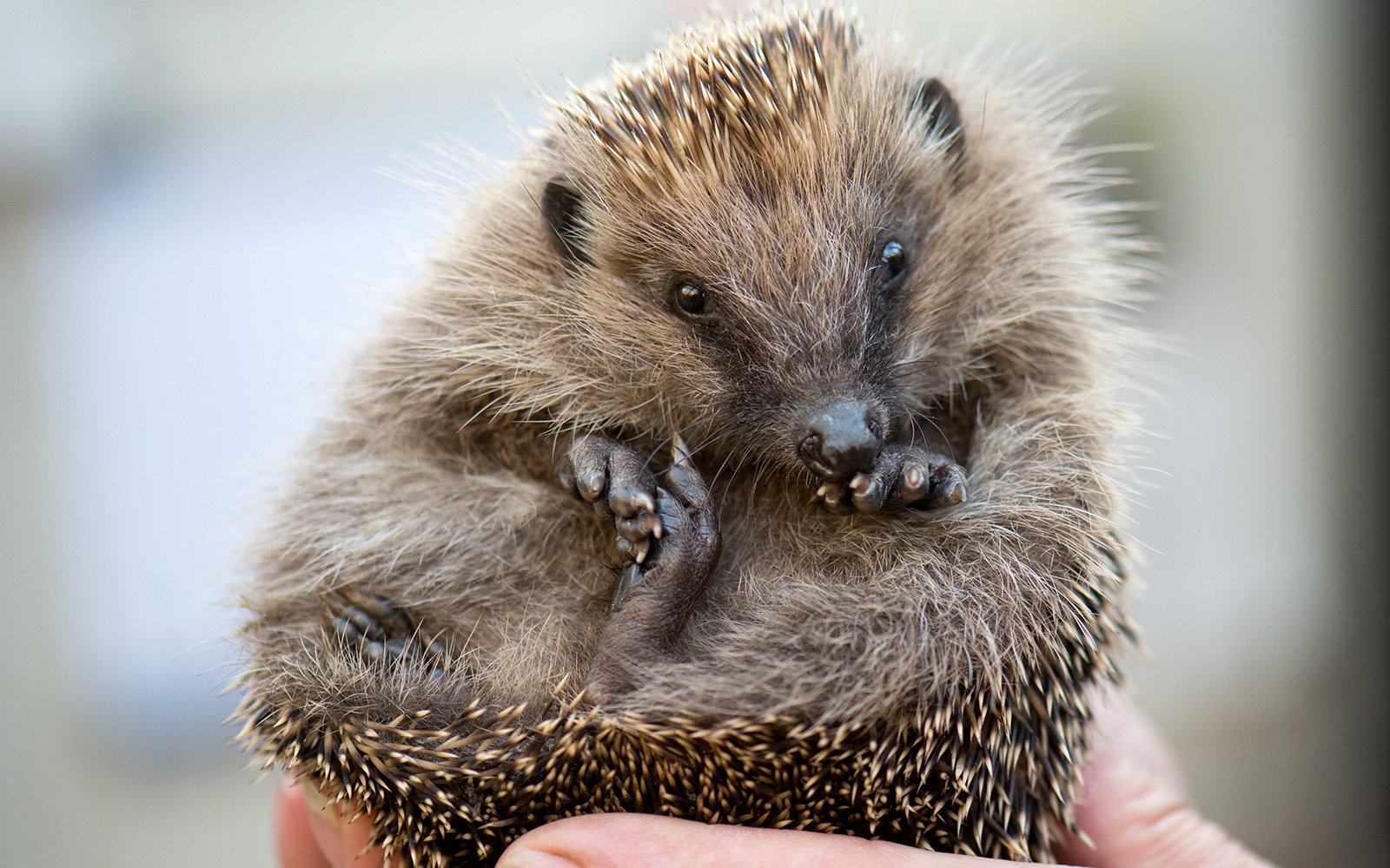 Tokyo's Hedgehog Cafe is a Huge Success (for Obvious Reasons)