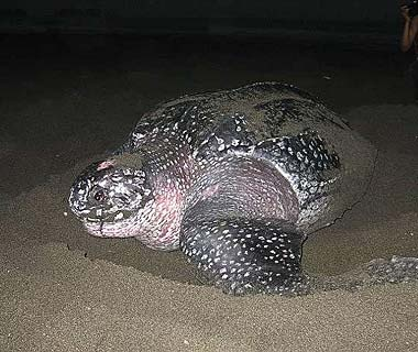 Leatherback sea turtle conservation, Costa Rica