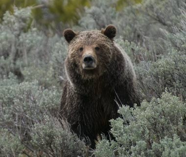 200911-safaris-grizzly-bear-ss