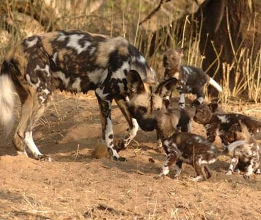 200911-safaris-african-dogs-ss