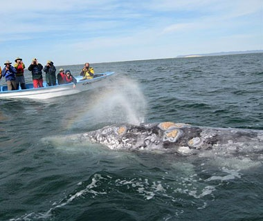 grey whale watching off the coast in Mexico.