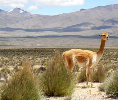 wildlife in the Andean regions of Peru