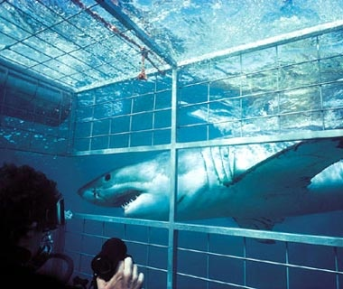 Swim with Sharks: South Africa