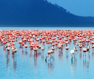 Flamingo Migration, Kenya