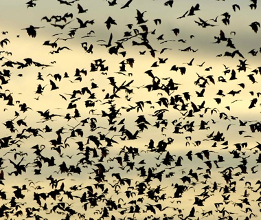 Fruit Bat Migration, Zambia