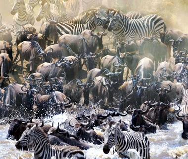 Wildebeest and Zebra Migration, Kenya and Tanzania
