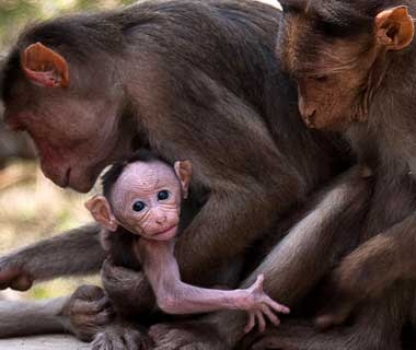Baby Monkey, Mumbai, India