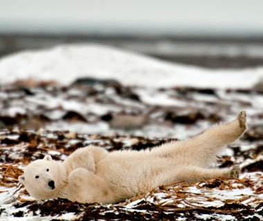 Meeting Polar Bears in Churchill, Manitoba