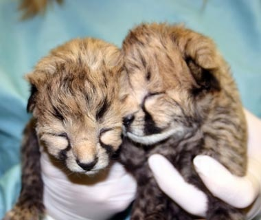 Gat and Lita, Cheetahs, Smithsonian National Zoological Park, Washington, D.C.
