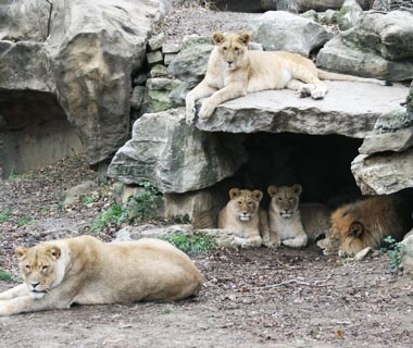 Mtai and Serafina, Lions, Saint Louis Zoo