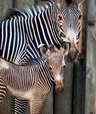 Kito, Grévy's Zebra, Lincoln Park Zoo, Chicago